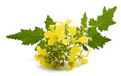 Mustard flowers isolated on white background