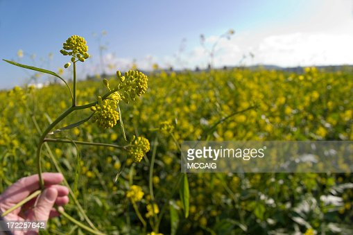 Mustard Plant Stock Photo   Getty Images