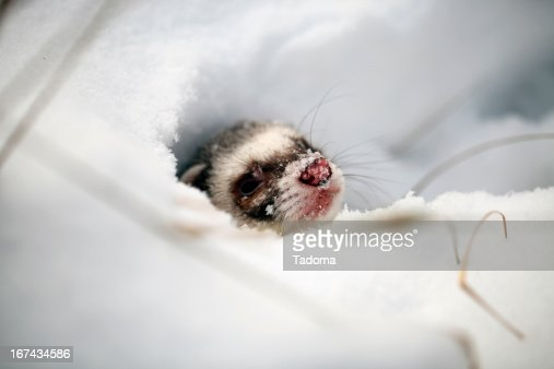 Mustela putorius furo : Foto de stock
