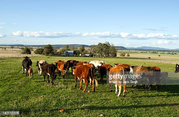 Mustering cattle in afternoon