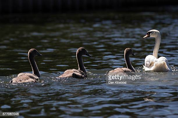 Mute Swan and cygnets make their way along the River Thames during the annual Swan Upping census on July 18 2016 on the River Thames South West...