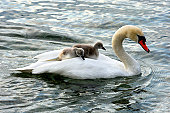 Mute Swan and fledglings, cygnets on its back (Cygnus olor)