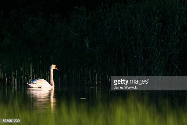 Mute swan at edge of lake