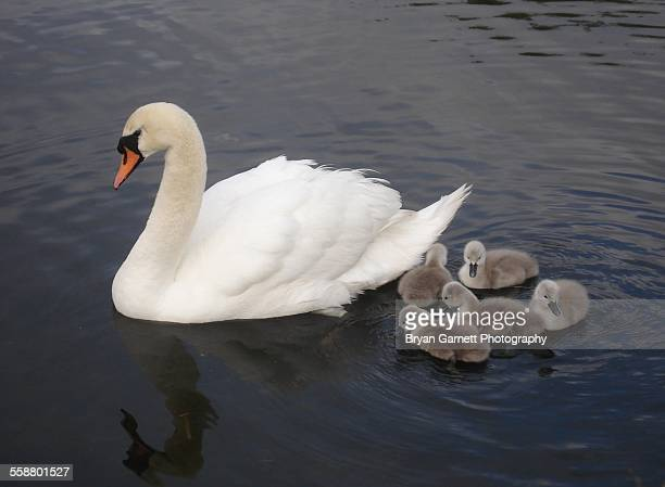 Mute Swan & Cygnets on the Water