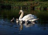 Mute swan (pen) & cygnets
