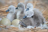 Mute Swan Cygnets with eggs