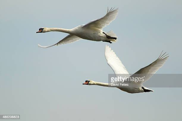 Mute swan - Cygnus olor - in flight