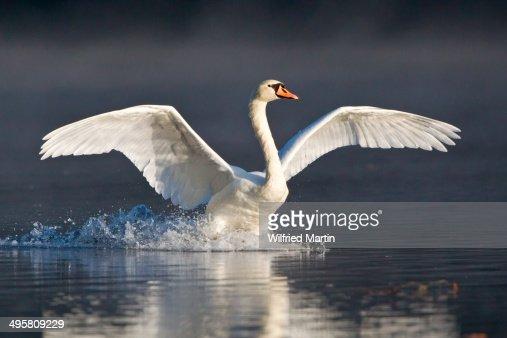 Mute Swan -Cygnus olor- landing on water, Hesse, Germany