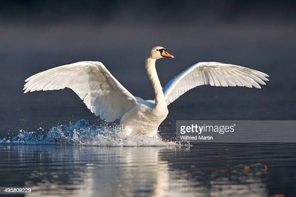 Mute Swan -Cygnus olor- landing on water, Hesse, Germany