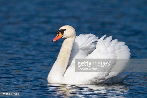 Mute Swan -Cygnus olor-, male, Upper Bavaria, Bavaria, Germany, Europe