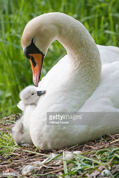 Mute Swan -Cygnus olor- on the nest with cygnet, North Hesse, Hesse, Germany