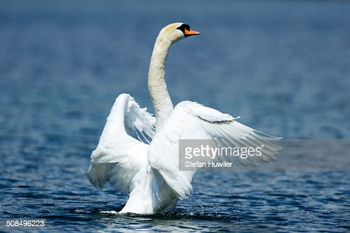 Mute Swan -Cygnus olor- shaking wings, Lake Zug, Zug, Switzerland, Europe