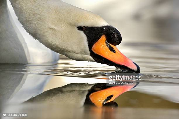 Mute swan (Cygnus olor) drinking water, close-up, side view