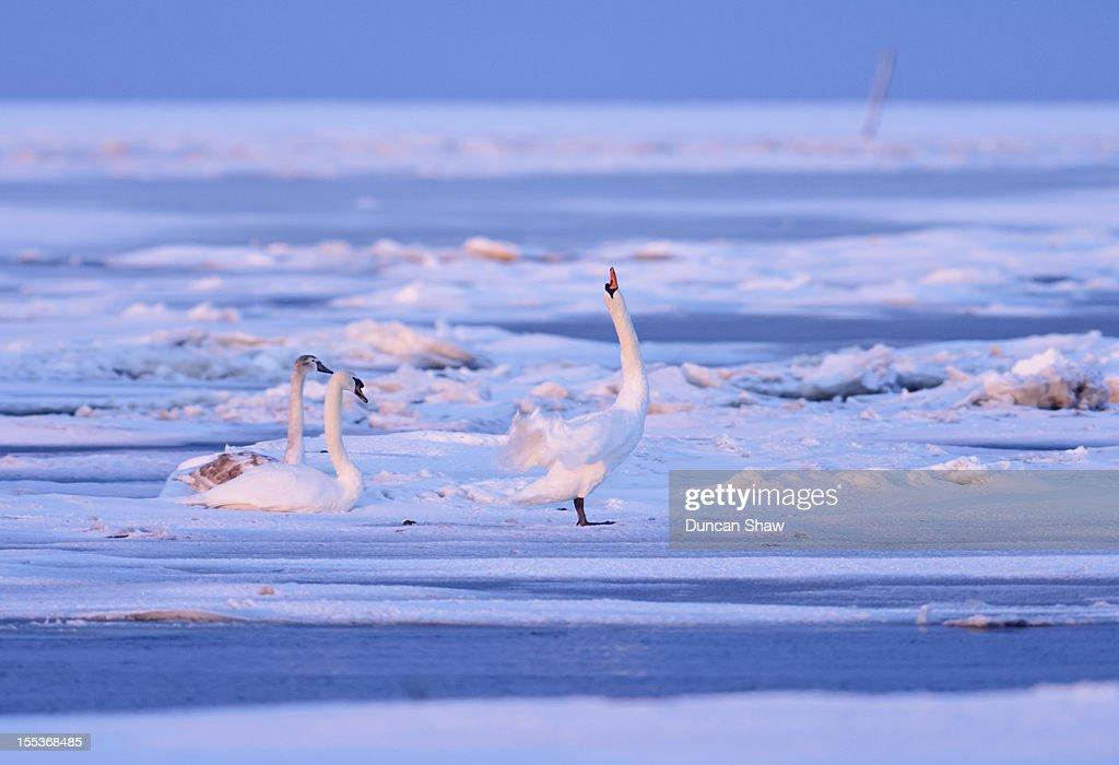 Mute Swan family on frozen marsh at daybreak. : Stock Photo
