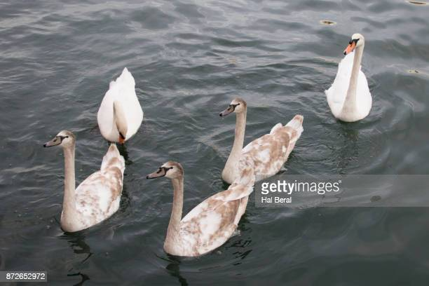 Mute Swan family with parents and lst year cygnets