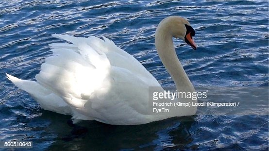 Mute Swan Floating In Water At Lake