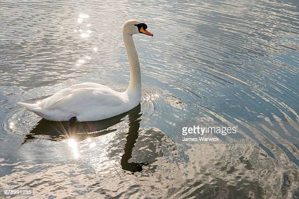 Mute swan in lake