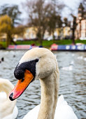 Isolated swan looking at camera