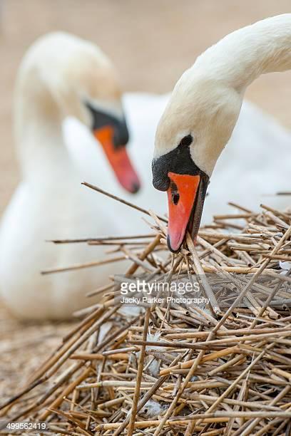 Mute Swan Nest Building Abbotsbury Swannery 2014