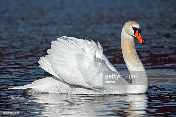 Mute swan on lake showing busking threat display Germany