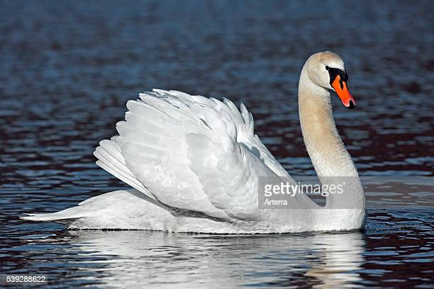 Mute swan on lake showing busking threat display Germany