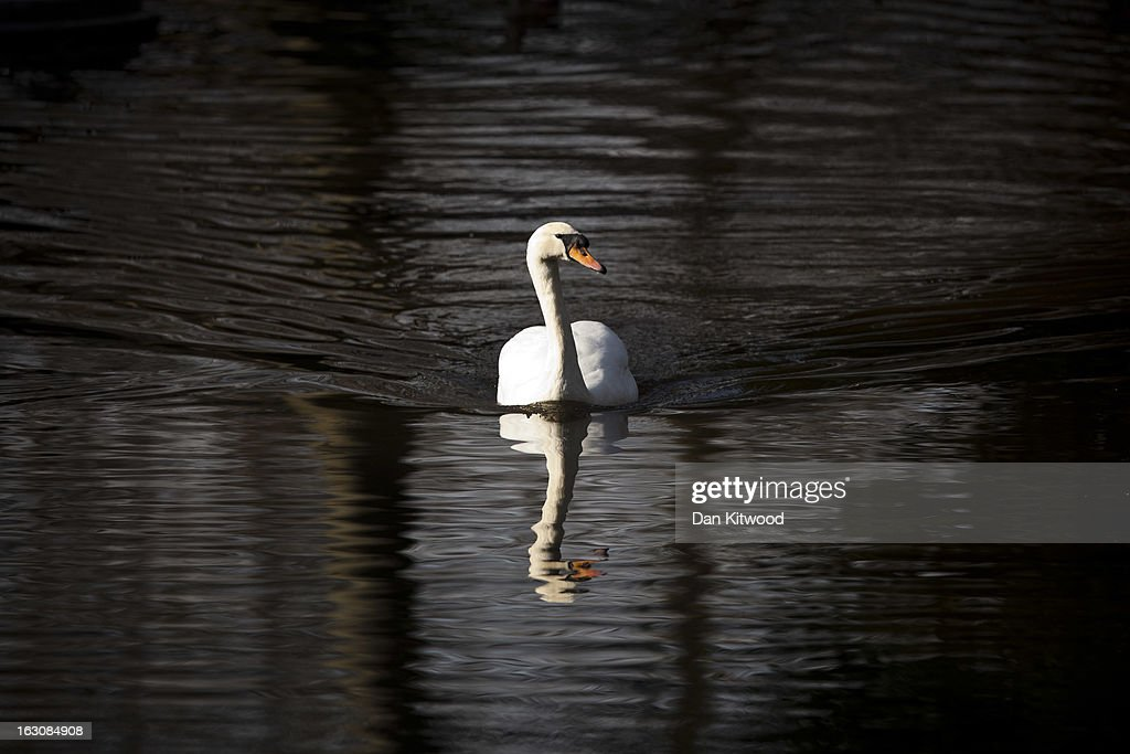 A Mute Swan swims in a channel in Regents Park on March 4, 2013 in London, England. The Met office has predicted the warmest day of the year tomorrow with a top temperature of 15 degrees in some parts of the country.