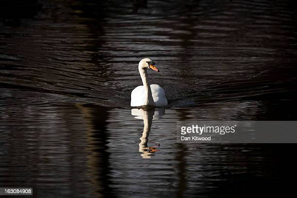 Mute Swan swims in a channel in Regents Park on March 4 2013 in London England The Met office has predicted the warmest day of the year tomorrow with...