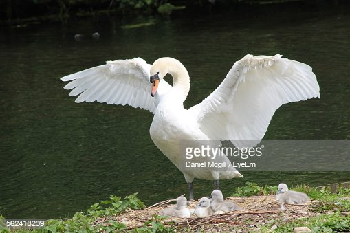 Mute Swan With Cygnets At Shore