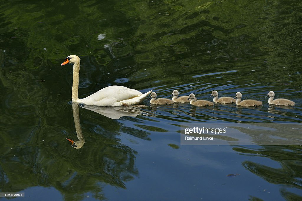 Mute Swan with Cygnets : Stock Photo