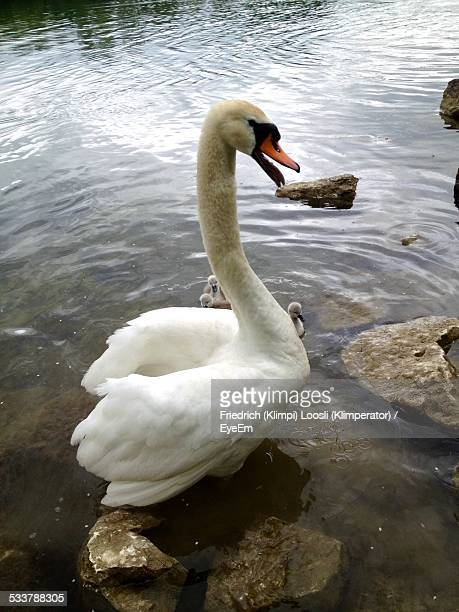 Mute Swan With Cygnets Swimming