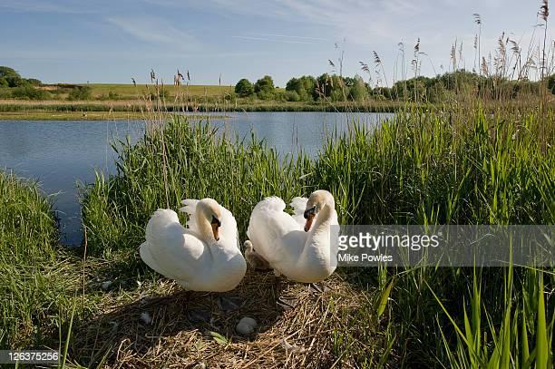 Mute Swans (Cygnus olor) nesting in reed bed, Norfolk, UK