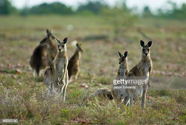 A mob of Eastern Grey Kangaroos standing alert on a dry outback plain.