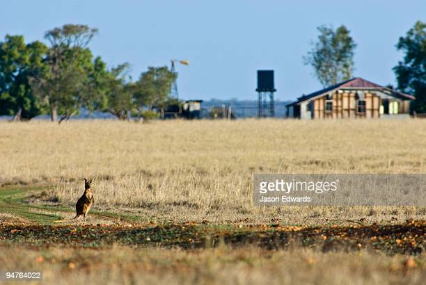 A Wallaroo crosses an abandoned farm in the grip of a severe drought.