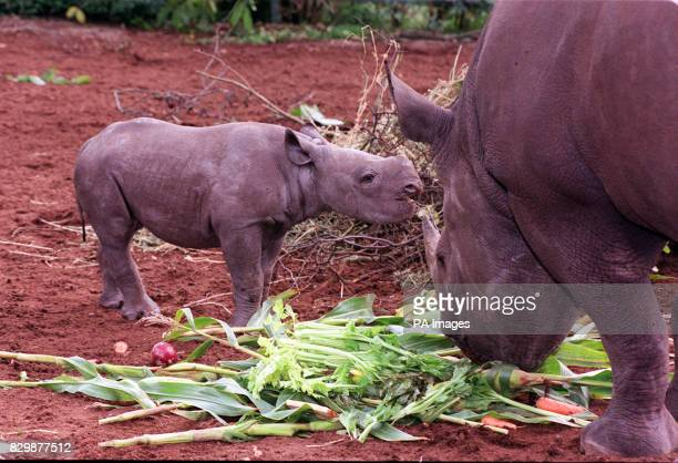 Mweru a black rhino calf born to Nakuru four weeks ago at Port Lympne Wild Animals Park today Although this is the eighth successful birth at Port...