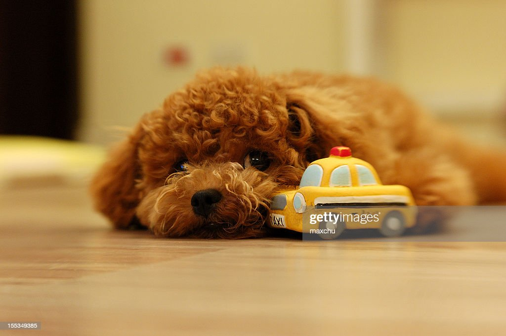 My Dog 'Cola' Really Like Her Toy Car : Stock Photo