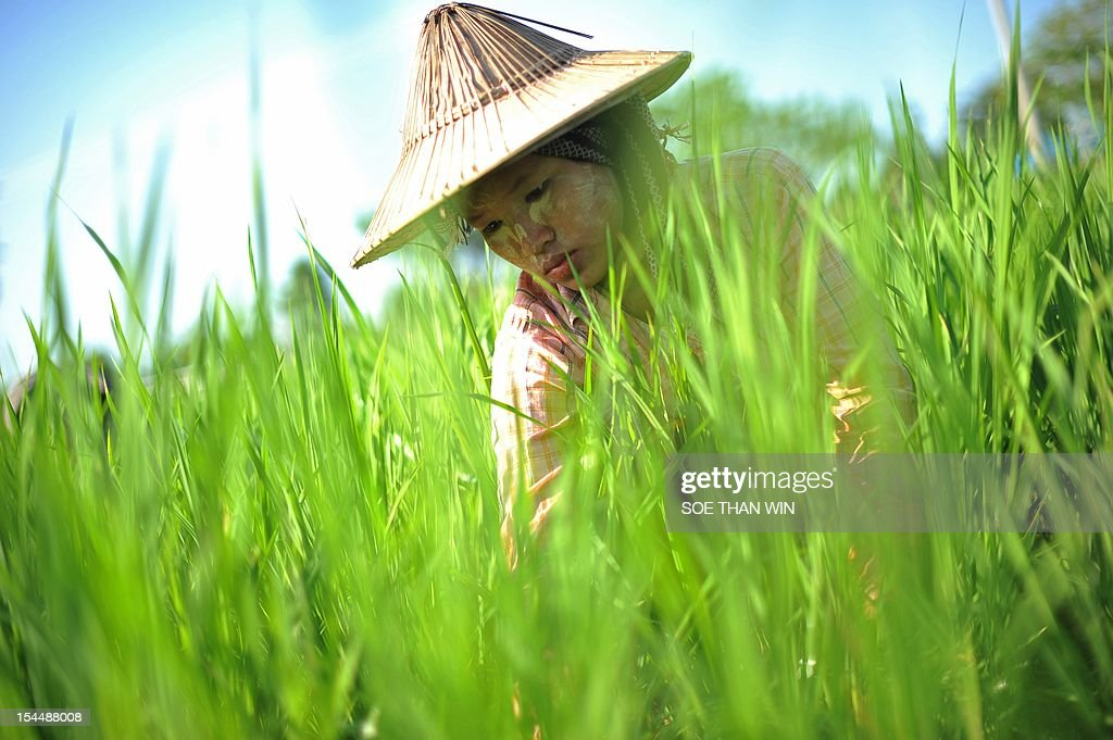 A Myanmar labourer works in a paddy field on the outskirts of Naypyidaw on October 20, 2012. The World Bank is working with one-time pariah Myanmar, its president said on October 13, and is helping the country to get its debts cancelled. AFP PHOTO/ Soe Than WIN