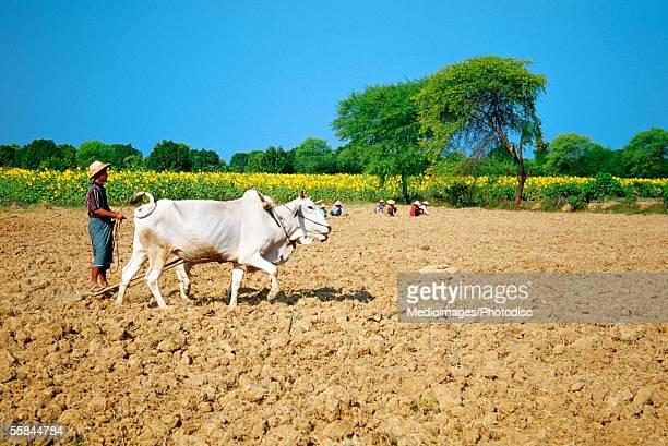 Myanmar, Mandalay, Farmer farming his field