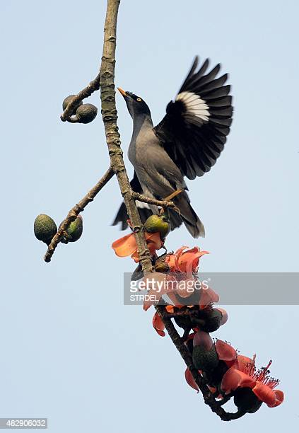 A mynah bird flies among simolu flowers in a tree on the outskirts of Guwahati on February 7 2015 This seasonal flower attracts a variety of wild...