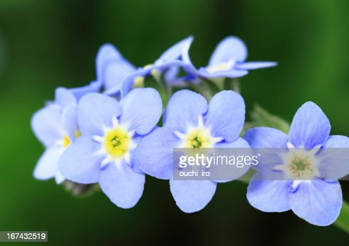 Myosotis scorpioides of the bluish violet : Stock Photo