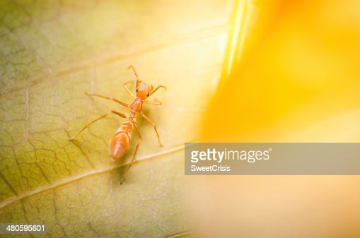 Myrmarachne Plataleoides spider : Stock Photo