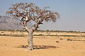 myrrh tree (Commiphora myrrha is a tree in the Burseraceae  family) from Socotra island