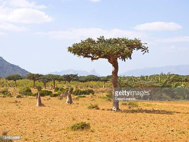 Myrrhe tree