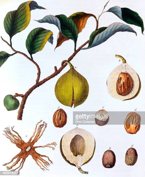 Myrsitica fragrans nutmeg c1798 Showing fruit containing the nut surrounded by ari the source of mace Nutmeg is a tree native to the Moluccas or...