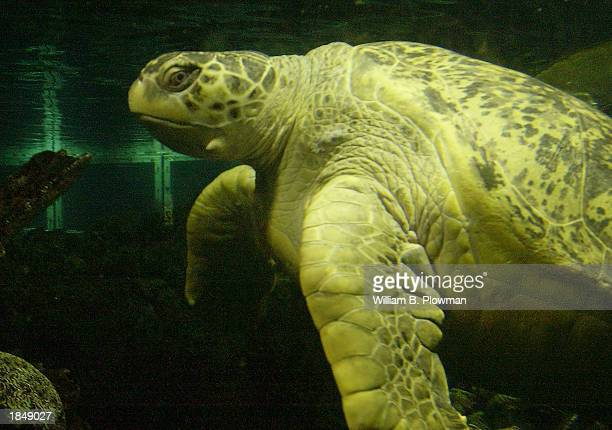 Myrtle a 600 pound sea turtle swims past a viewing window at the New England Aquarium March 14 2003 in Boston Massachusetts Myrtle was presented with...