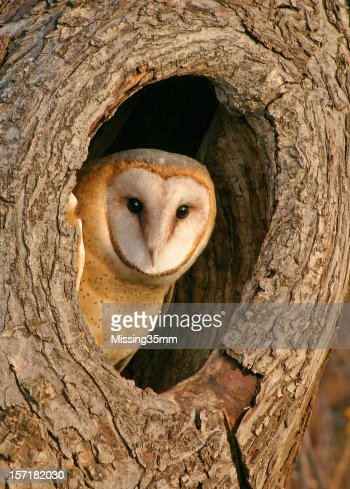 Mysterious Barn Owl in Tree