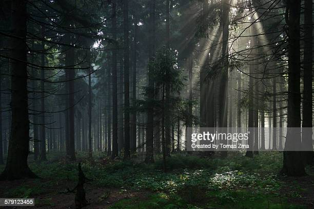 Mysterious deep forest atmosphere at Trojacka