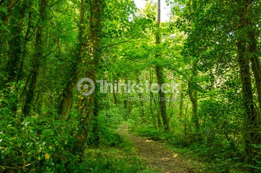 Mysterious forest, Inchagoill island, lake Corrib : Stock Photo