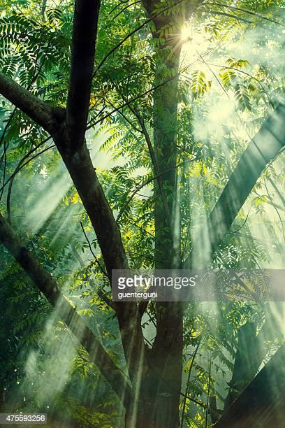 Mystic sunbeams shining into a dark forest, XXL image
