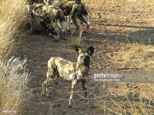 N/aan ku se NAMIBIA One of the wild dogs part of a pack of puppies rescued from a farm waits for his dinner to arrive by air Staff members throw the...