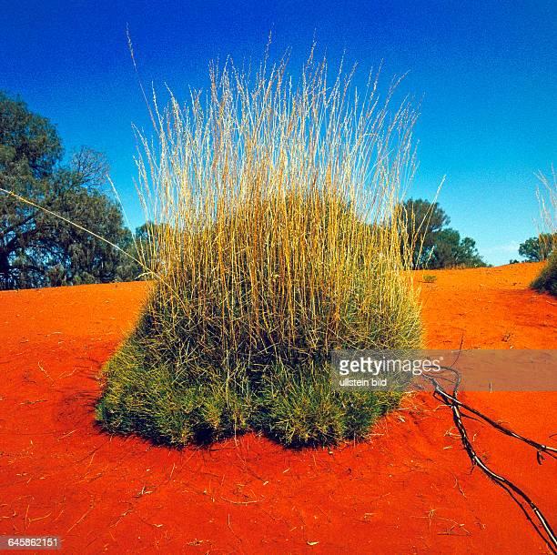 Nach Regenfaellen waechst auf den roten Treibsandfeldern der Simpson Wueste im Inneren Australiens im Kugelwuchs australisches Steppengras oft...